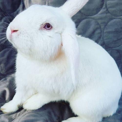 Atreyu - Domestic Rabbit