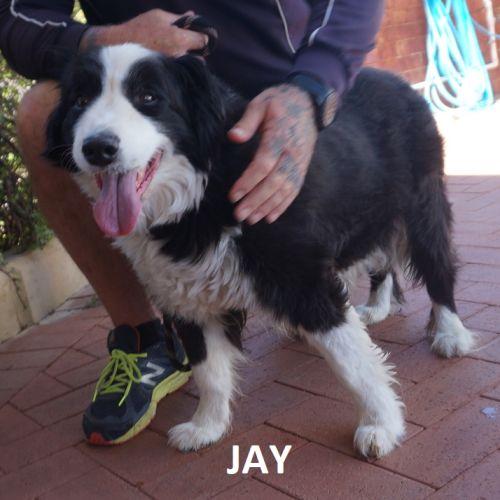 Jay DL2324 - Border Collie Dog