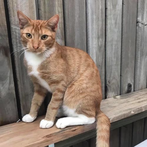 Paul - Domestic Short Hair Cat