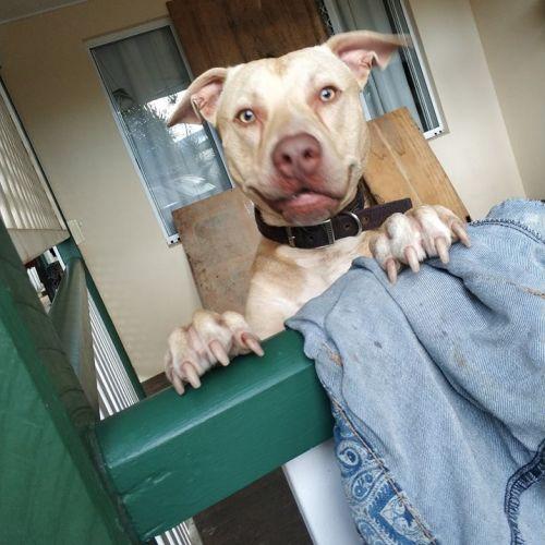 Ragnar - American Staffordshire Terrier Dog