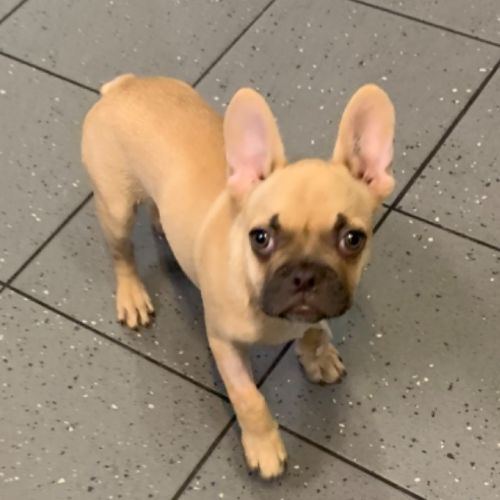 Peanut - French Bulldog
