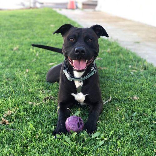 Caesar - Amstaff Dog