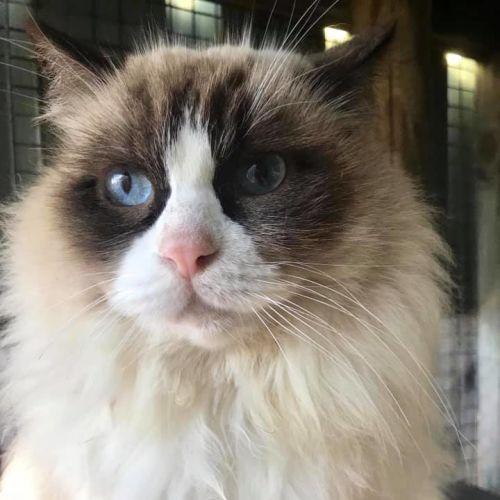 Madeline - Ragdoll Cat