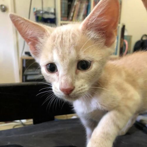 Dyson - Domestic Short Hair Cat