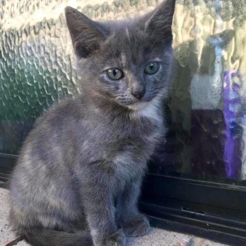 Kokomo - Domestic Short Hair Cat