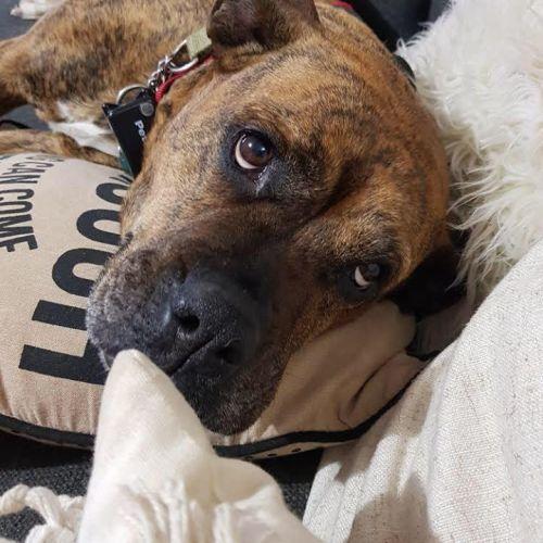 Abbi - Mastiff x Staffy Dog