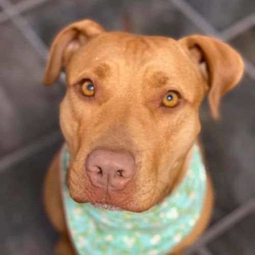 Ruby - American Staffordshire Terrier Dog