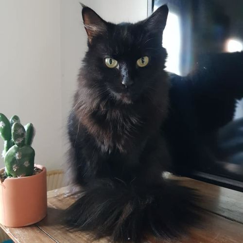 Hera - Domestic Long Hair Cat