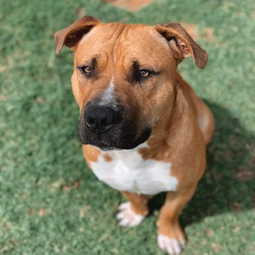 Henry  - Staffordshire Bull Terrier Dog
