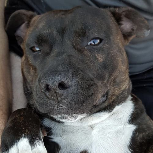 Sisco - Staffordshire Bull Terrier Dog