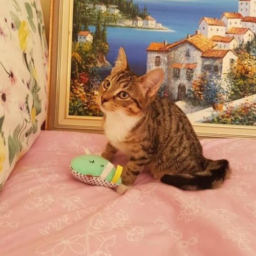 Rescue Kitten Showroom - Domestic Short Hair x Domestic Medium Hair Cat