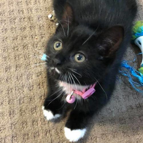 Athena - Domestic Medium Hair Cat