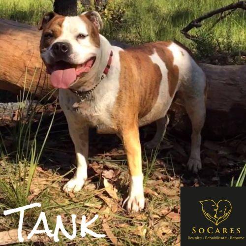 Tank - American Staffordshire Bull Terrier Dog