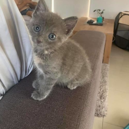 Clarice - Domestic Short Hair Cat