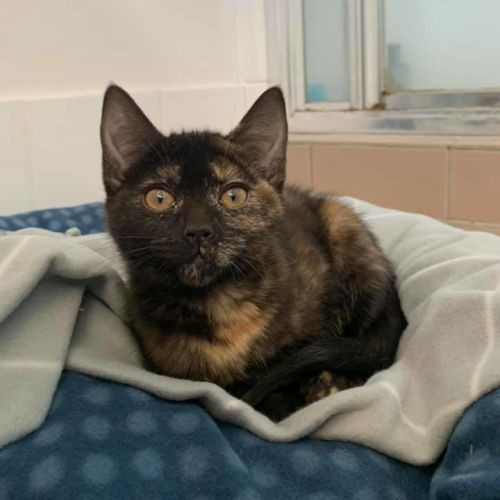 Tipsy - Domestic Short Hair Cat