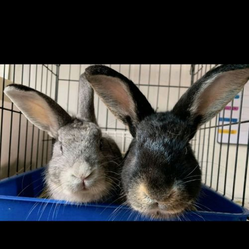 Jake & Jordy - Domestic Rabbit