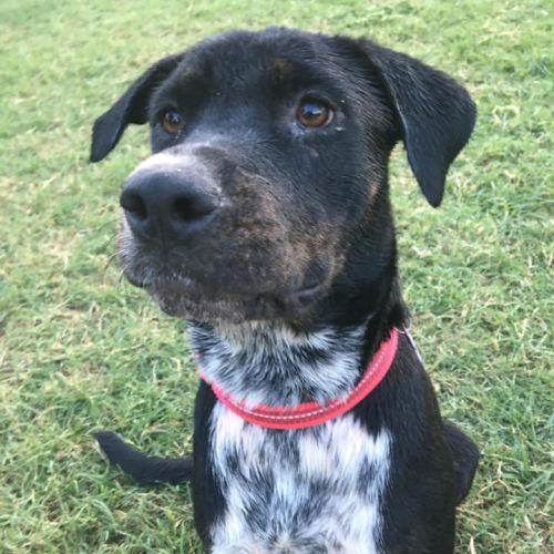 Sadie - Rottweiler Dog