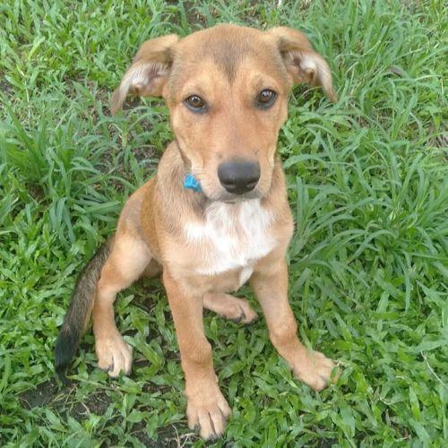 Magpie ~ Adoption Pending ~ - Kelpie Dog