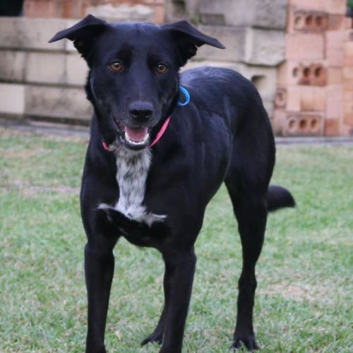 Portia ~ Adoption Pending ~ - Kelpie x Border Collie Dog