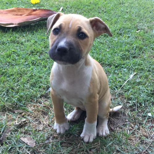 Bella - Staffordshire Bull Terrier x Bull Terrier Dog