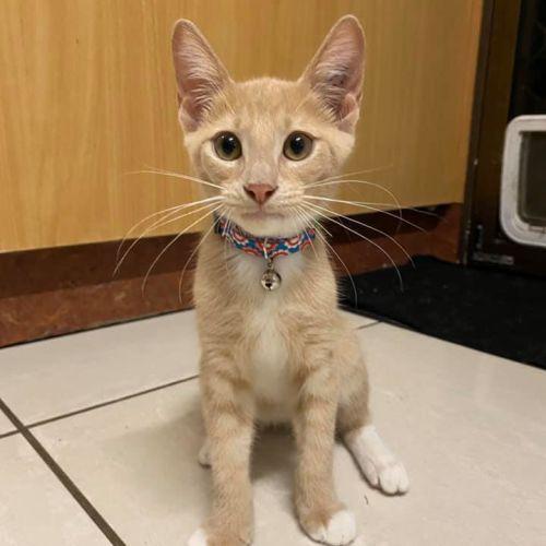 Cody  - Domestic Short Hair Cat