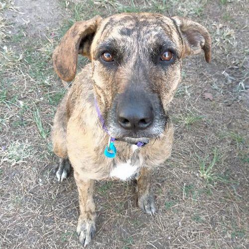 Nina - Irish Wolfhound Dog