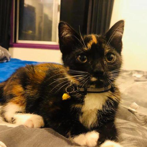 Sarabi - Domestic Short Hair Cat