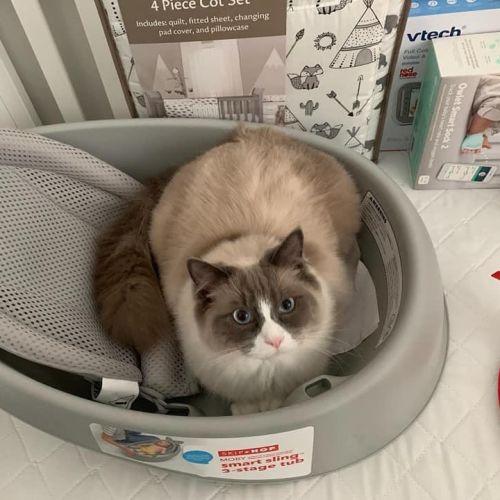 Buddy - Ragdoll Cat