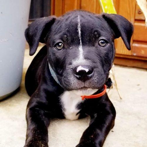 Bosley - Staffy Dog
