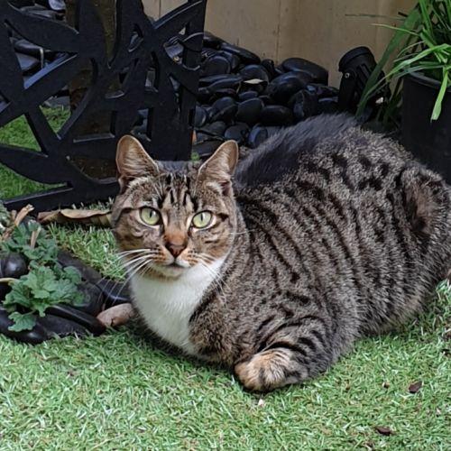 Lexie - Located in Braybrook - Domestic Short Hair Cat
