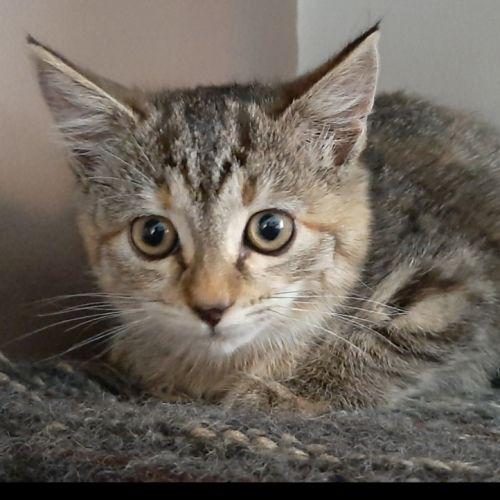 Rita - Domestic Short Hair Cat
