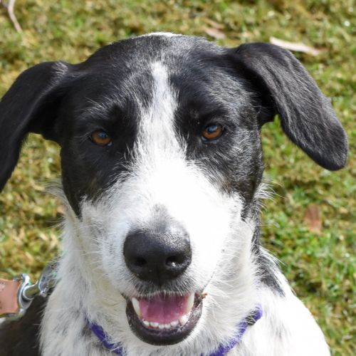 Patsy 🐞 - Irish Wolfhound Dog