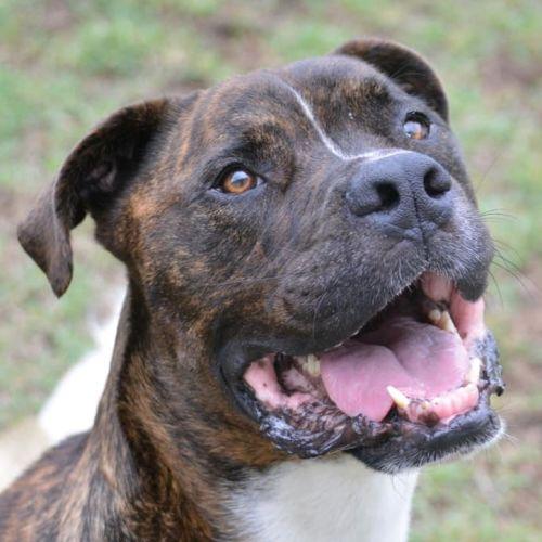 Blaze - Boxer x Staffordshire Bull Terrier Dog
