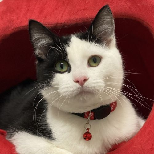 Gaston - Domestic Short Hair Cat