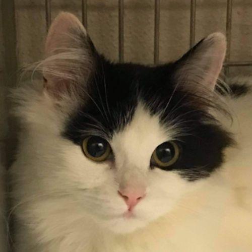 Trinty - Domestic Long Hair Cat