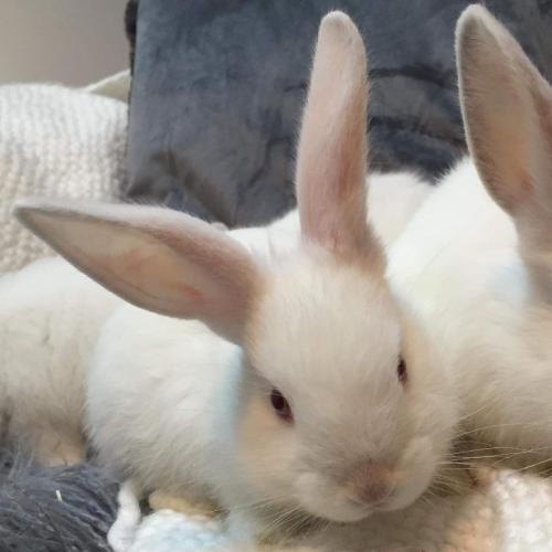 Bilbo - Himalayan Dwarf Rabbit