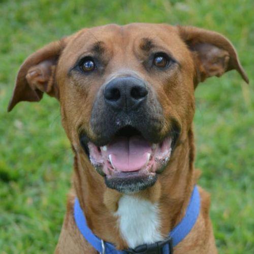 Ninja - American Staffordshire Bull Terrier Dog