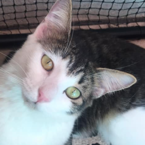 Echuca  - Domestic Medium Hair Cat