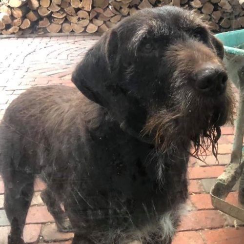 Jake - German Wirehaired Pointer Dog