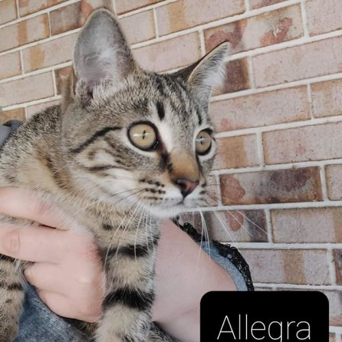 Allegra - Domestic Short Hair Cat