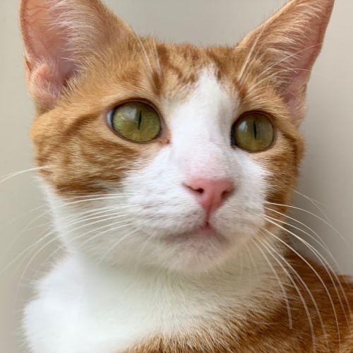 Lolly - Domestic Short Hair Cat