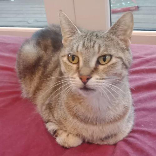 Grace - Meet me Sunday @Neko HQ, Preston - Domestic Short Hair Cat