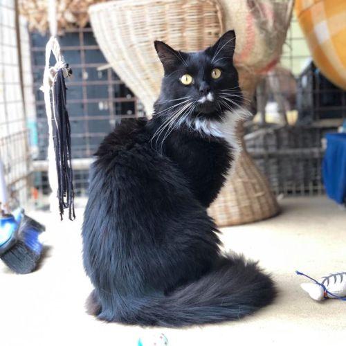 Moe - Domestic Long Hair Cat