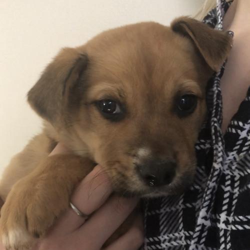 Albert  - Mastiff Dog