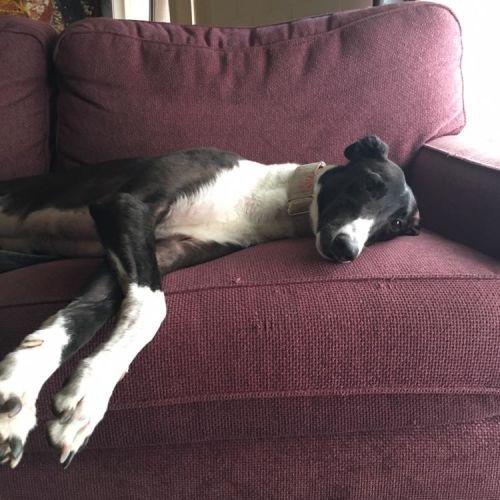 Floyd - Greyhound Dog