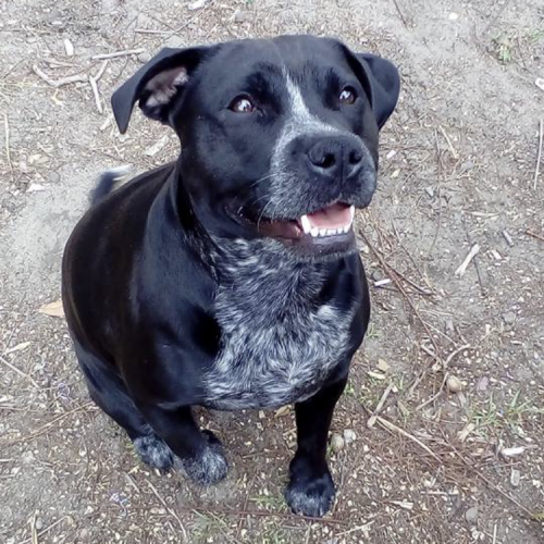 Nadi - Staffordshire Bull Terrier Dog