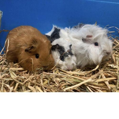 Sissi, Sadie and Blanca -  Guinea Pig