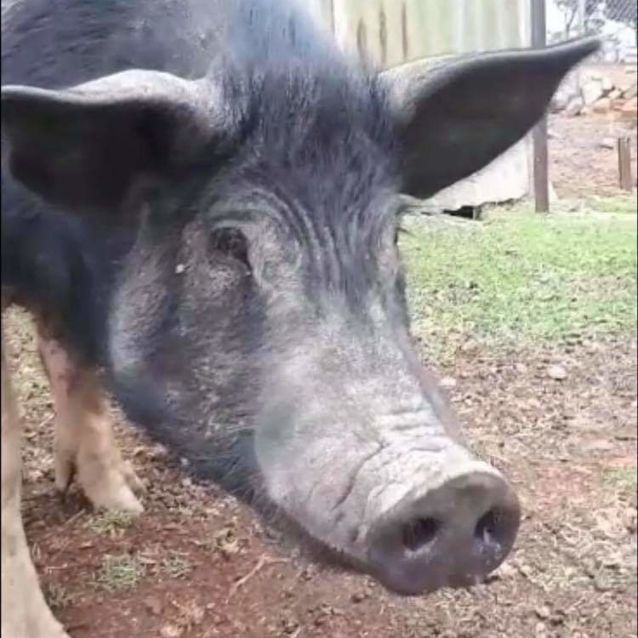 Photo of Mr Pig
