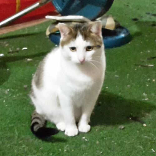 Kenny - Located in Lower Templestowe - Domestic Short Hair Cat