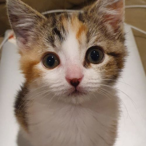 Miffy  - Domestic Short Hair Cat